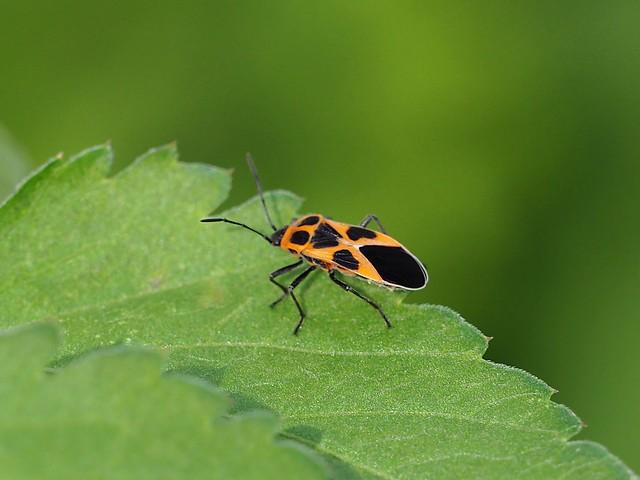 Tropidothorax sinensis (ヒメジュウジナガカメムシ)