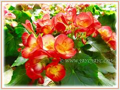 BBeautiful Begonia Roseform Orange, shot 15 Aug 2014