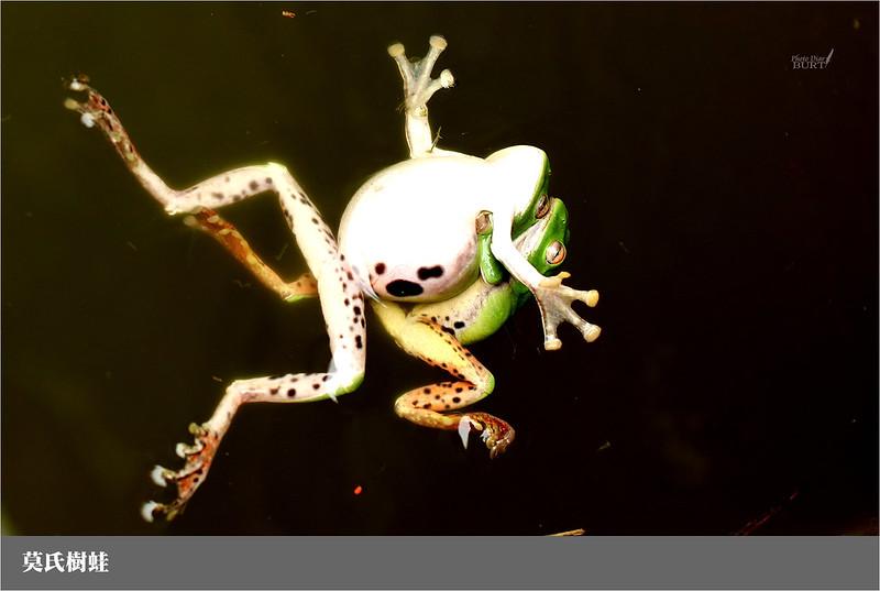 006莫氏樹蛙