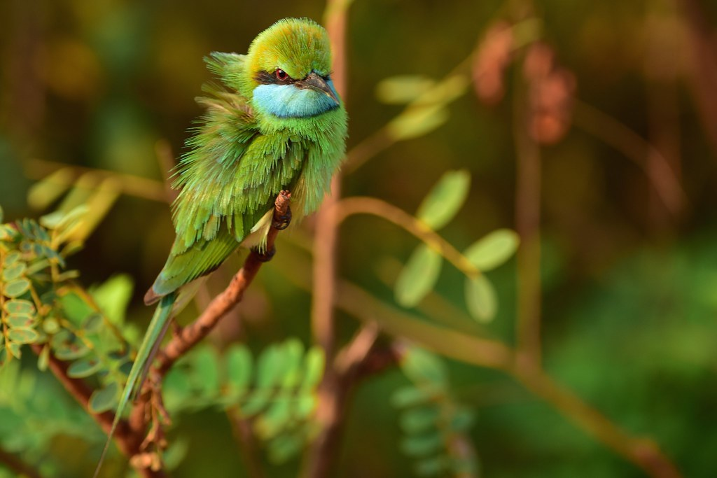Green Bee-eater - Sri-Lanka
