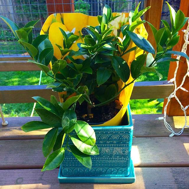 Josh bought me a little lemon tree for our anniversary. I hope I don't kill it immediately. 🍋🍋🍋
