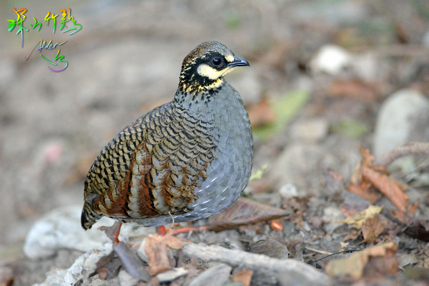 Taiwan_Hill_Partridge_7940