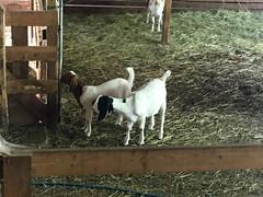 Goats at Salt Spring Island Cheese