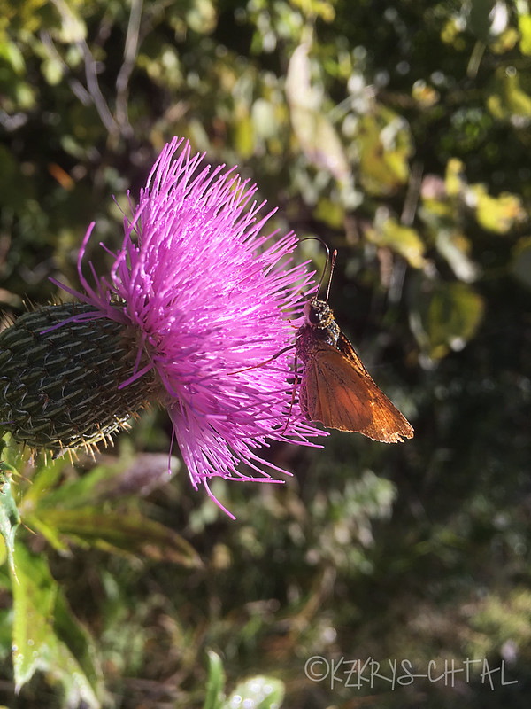 IMG_5245ButterflyOnThistle