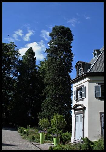 Picea pungens de plus de 120 ans