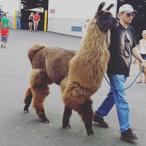 Llama #eriecountyfair #llama