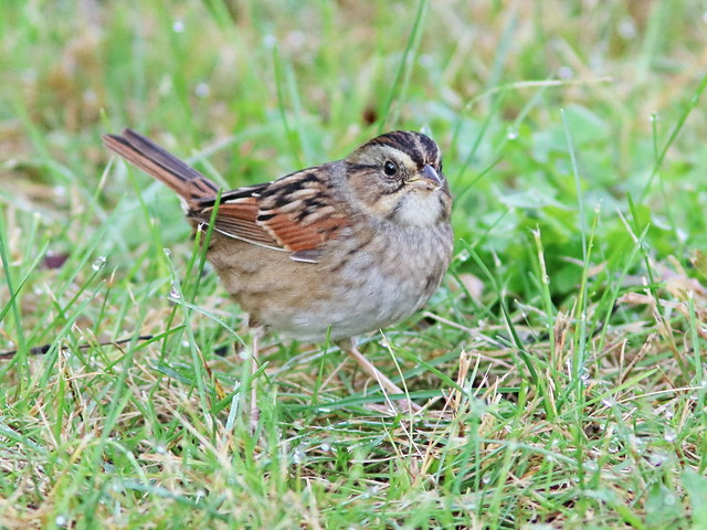 Swamp Sparrow 03-20161007