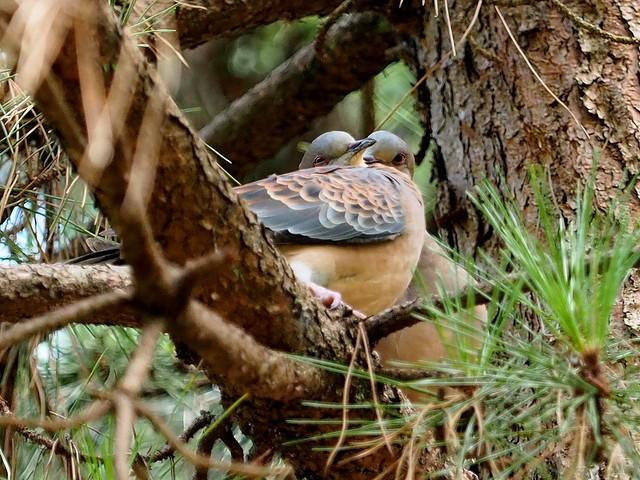 Oriental turtle-doves (キジバト)