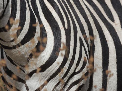 Tanzania Safari, Zebras