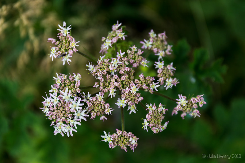 Hogweed flower