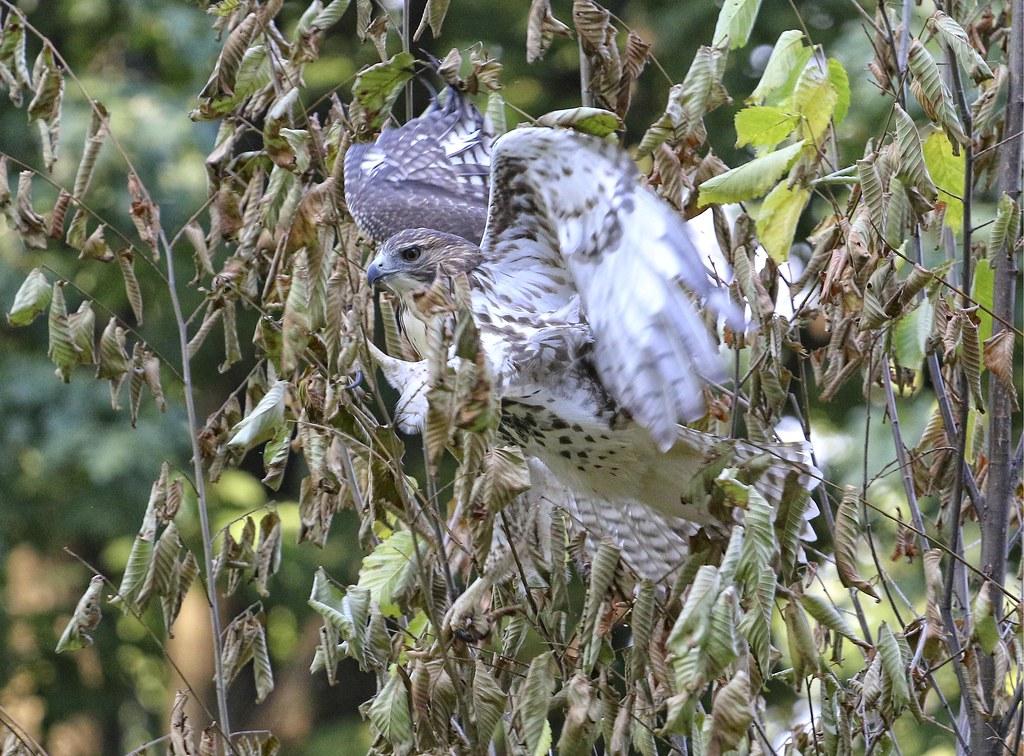 Silly hawk stuck in tree