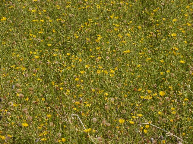 Camphorweed (Heterotheca subaxillaris) - 2