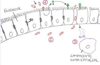 mécanismes moléculaires de la maladie coeliaque
