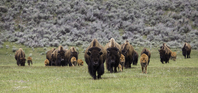 photo of yellowstone bison and calves
