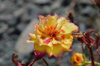 DSC_0118 Portulaca grandiflora ポーチュラカ 松葉牡丹