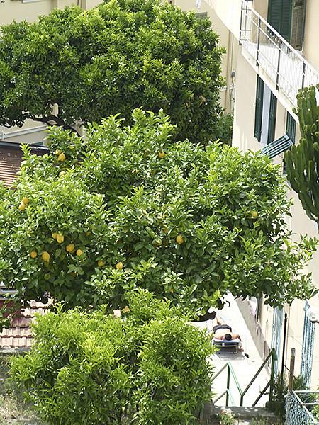 sieste sous un citronnier