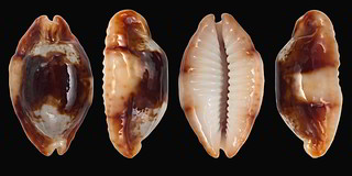 Bistolida stolida crossei - (Marie, 1869) 29169562130_78ca7d3697_n