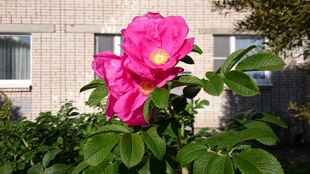 Шиповник // Dog-rose