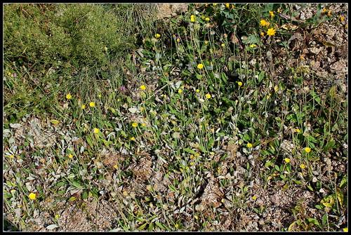 Pilosella officinarum- Hieracium pilosella (3)