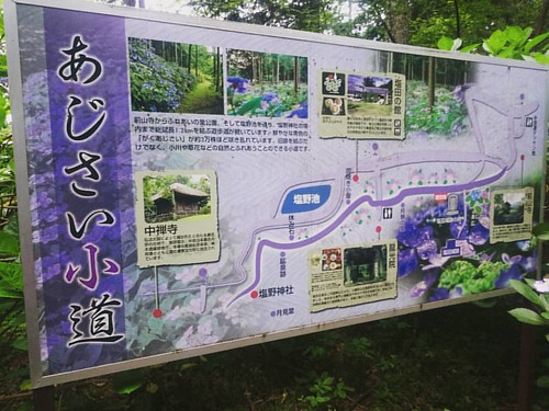 塩田城蹟,紫陽花道。花況還不到五成。