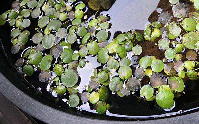 ビオトープ 越冬 アマゾンフロッグビット 睡蓮鉢
