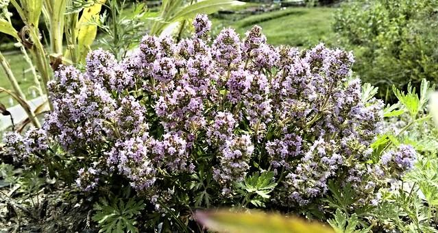 北疆的花 (6)