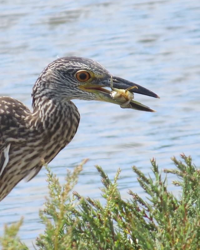 immature Yellow-crowned Night-Heron back cove Hartlen Point - August 6, 2016