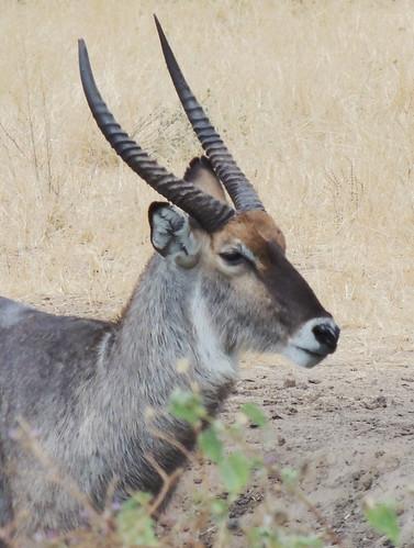 Tanzania Safari, Waterbuck