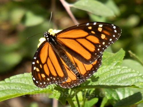 monarch lantana 3