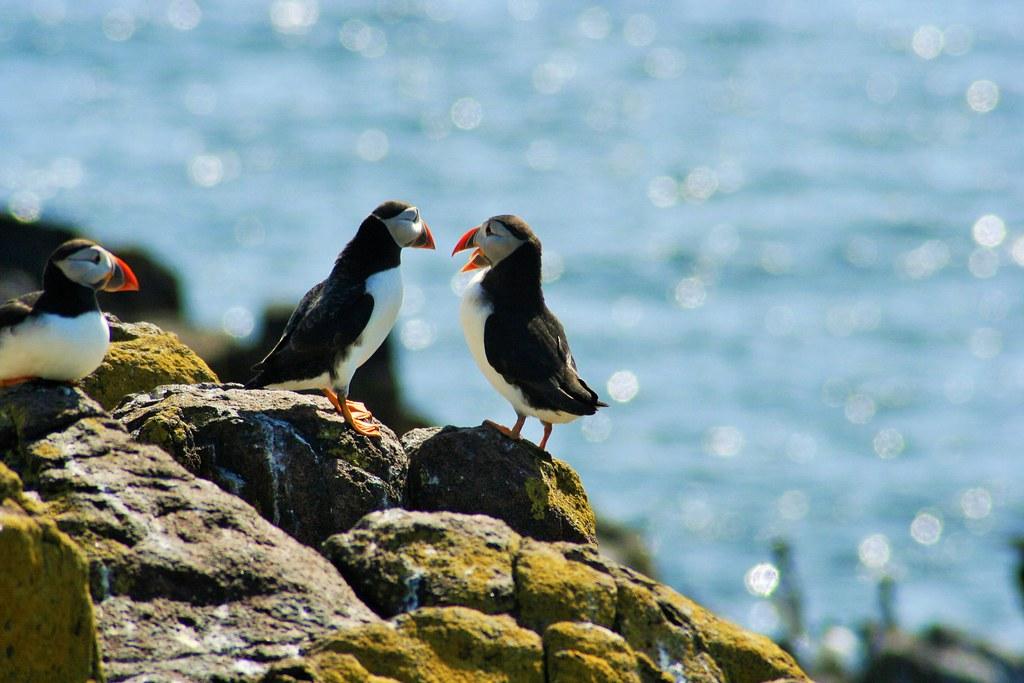 Puffins on Isle of May, Scotland