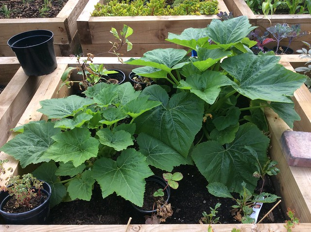 Triffids: Rugosa friulana courgette/ summer squash plants coming along nicely now.