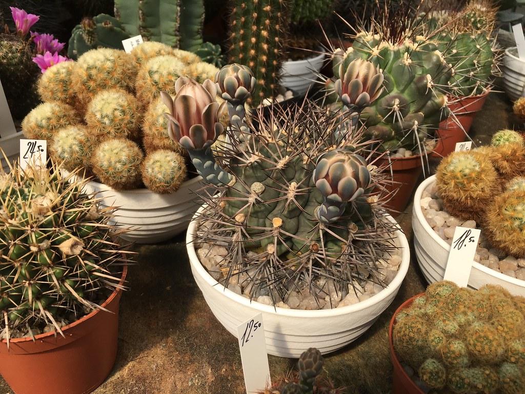 Ha-Ka-Flor - cactus et plantes grasses 28106994610_61def1417b_b