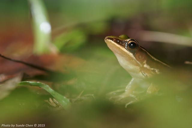 臺北赤蛙 Hylarana taipehensis (Van Denburgh, 1909)