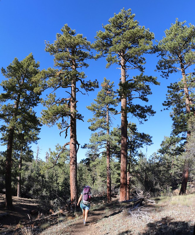 Tall stately pines on the Pacific Crest Trail