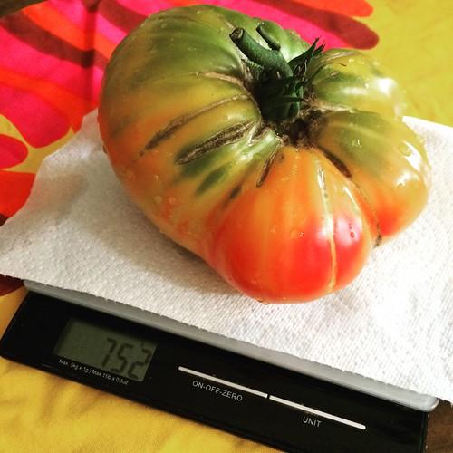 トマト収穫期