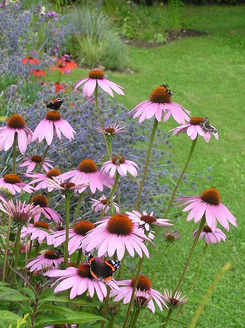 Echinacea Rubinstern' with butterflies