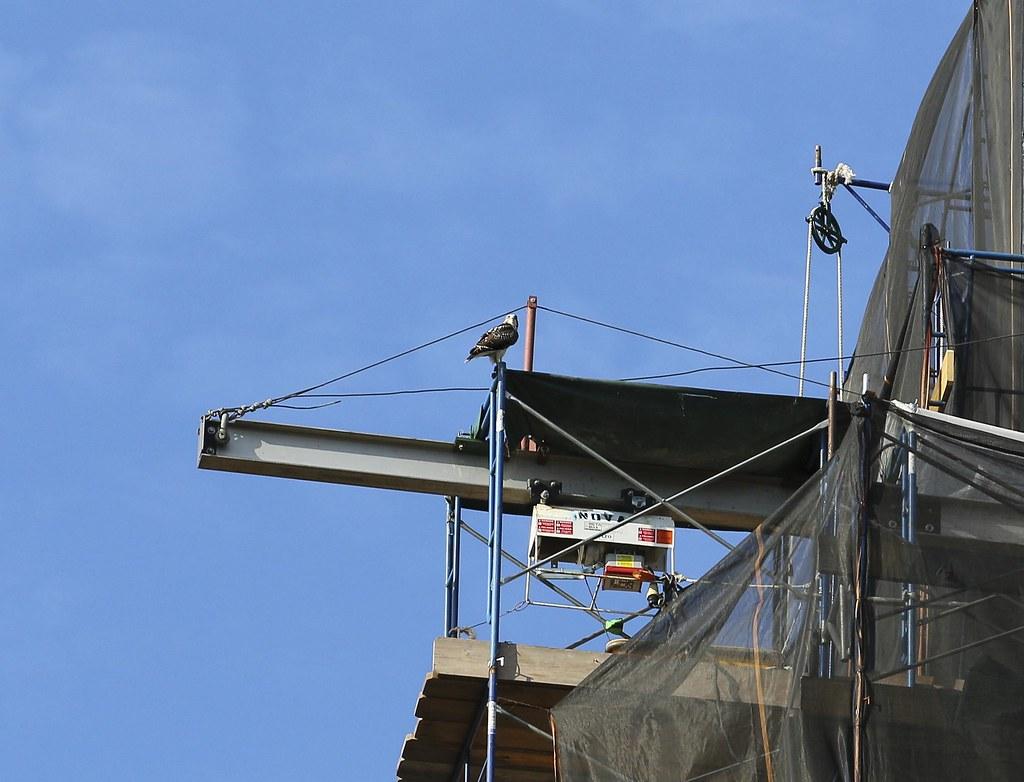 Fledgling hawk on the Christadora Building