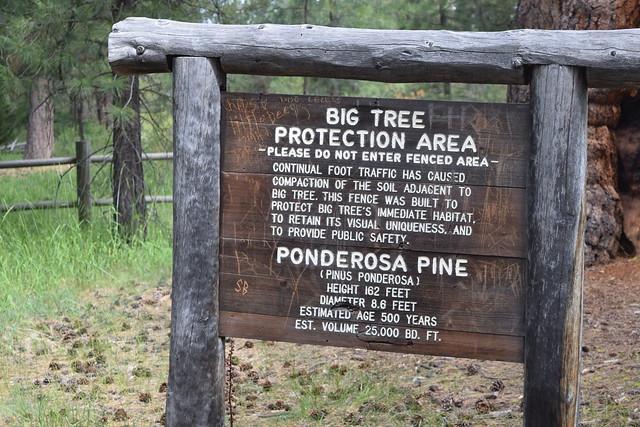 Biggest Ponderosa Pine in Oregon