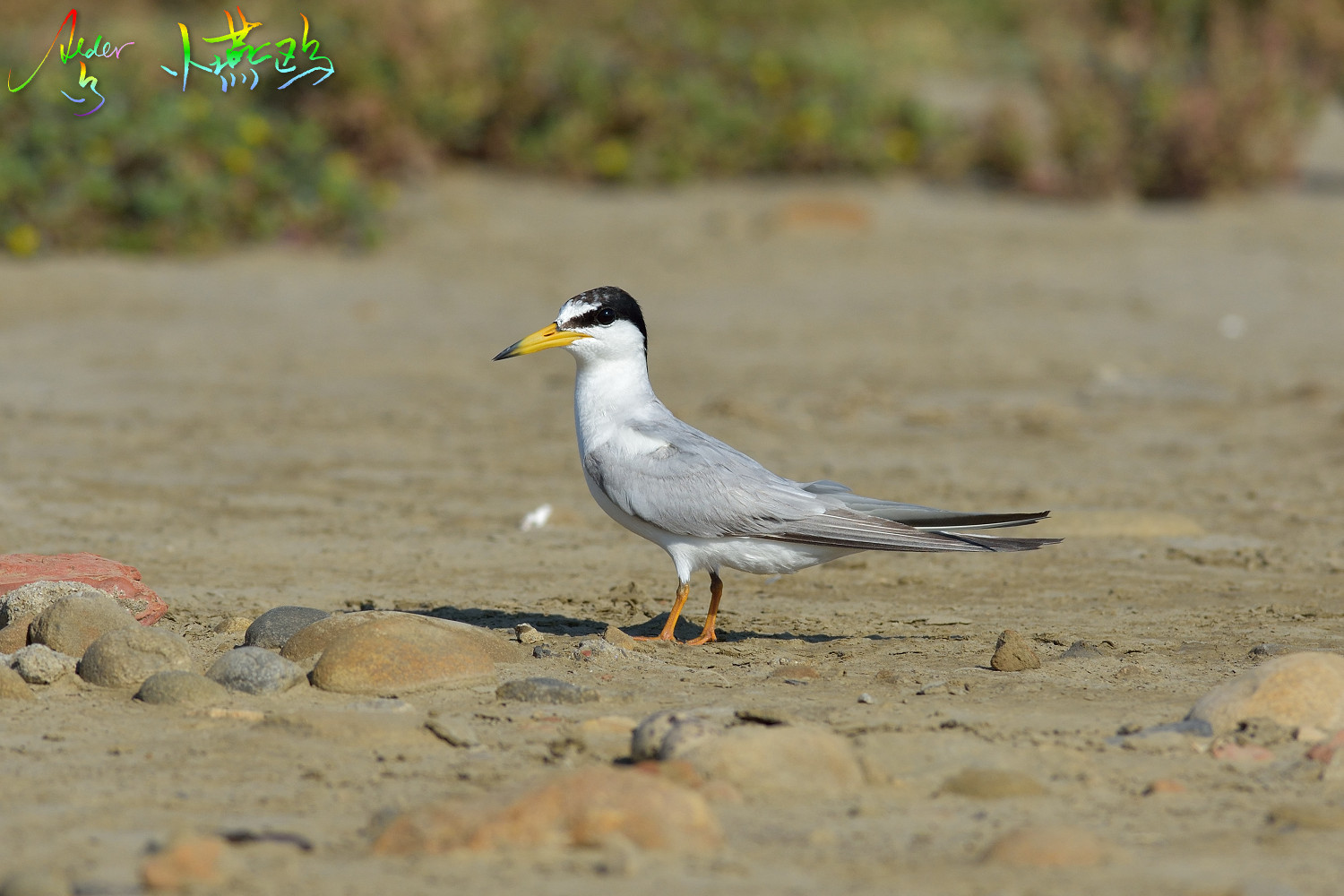 Little_Tern_2044