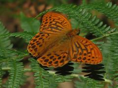 Argynnis paphia   Nacarada