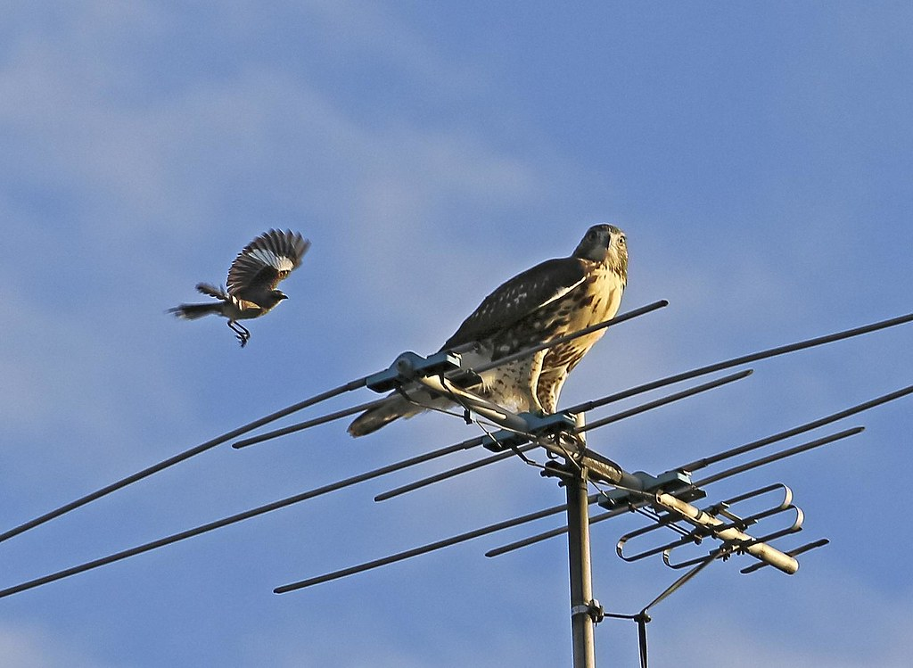 Hawk fledgling mobbed by a mockingbird
