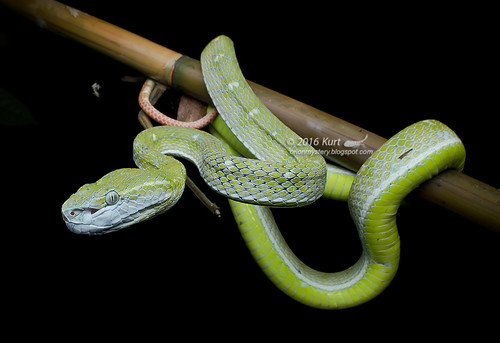 Trimeresurus hageni_MG_3285 copy
