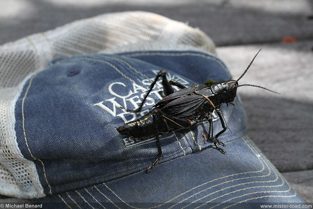 Luber Grasshopper