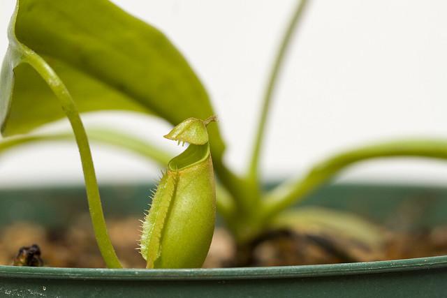 Nepenthes bicalcarata Marudi