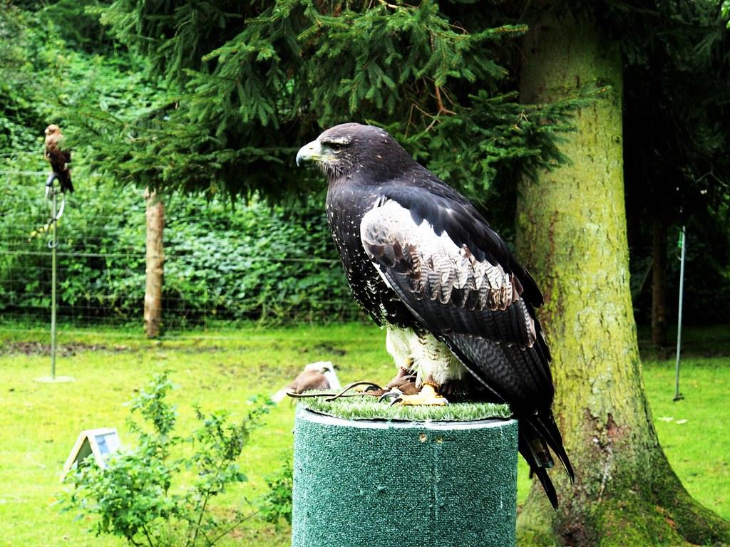 Black Chested Buzzard Eagle at Dean Castle, Scotland.