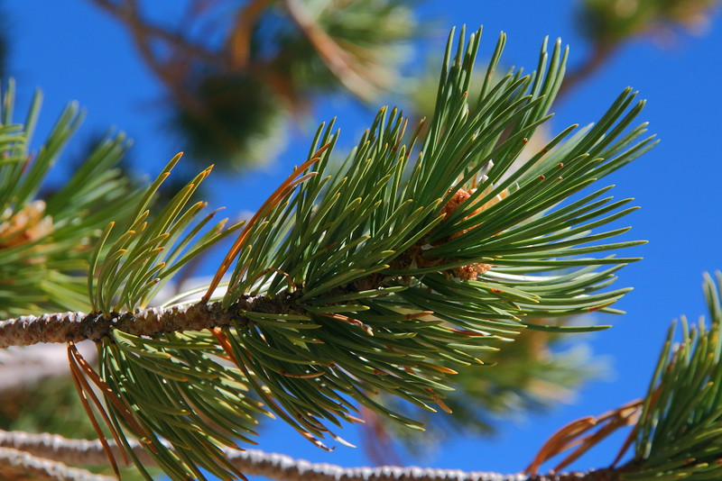 IMG_0074 Needles of Limber Pine
