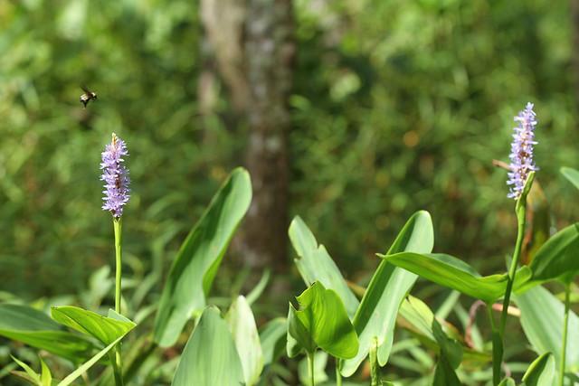 Bee flying between pickerelweed flowers