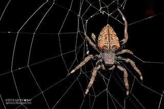 Orb web spider (Parawixia sp.) - DSC_9714b