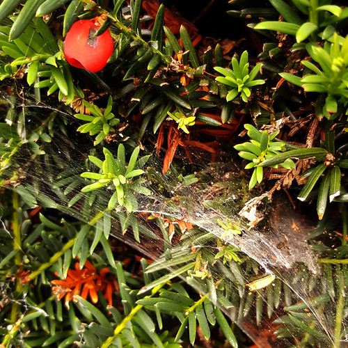 Yew trees are often the oldest trees found in ancient churchyards. But what do they represent, and how do they appear in British folklore?