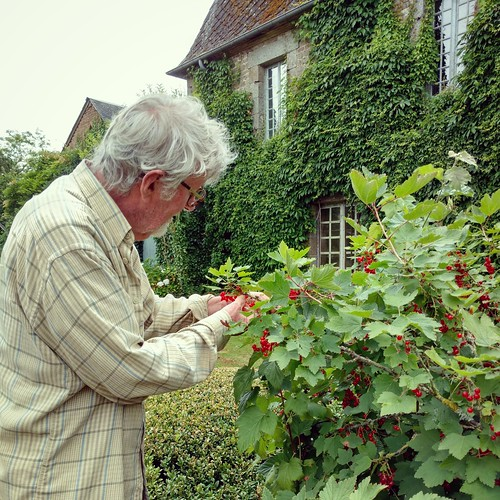 Harvesting red currants in the garden